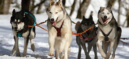 Abenteuer Schlittenhunde